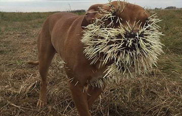 狗狗与豪猪打架被扎成刺猬