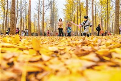 漢陽陵銀杏林滿園盡是黃金色