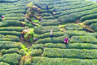 春風最好處 茶農採茶忙