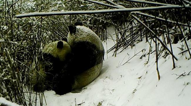 陕西:红外相机记录秦岭大熊猫母子哺乳瞬间