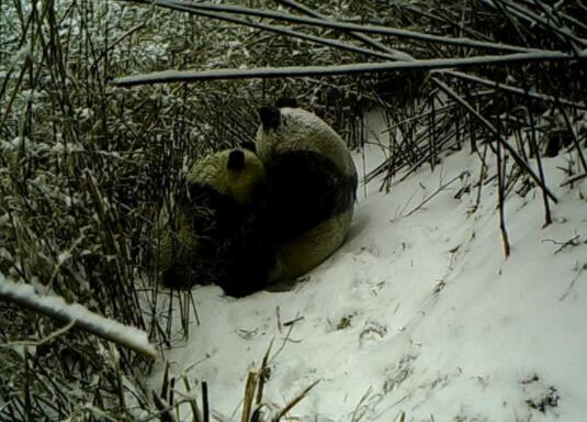 红外相机记录秦岭大熊猫母子哺乳瞬间