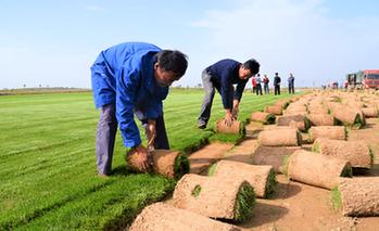 陜西靖邊:草坪種植效益佳