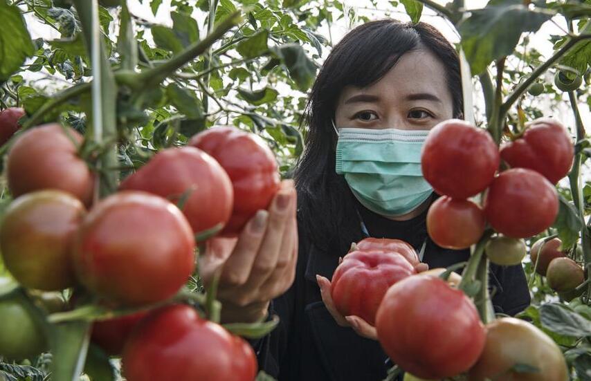 秦嶺腳下的西紅柿紅了