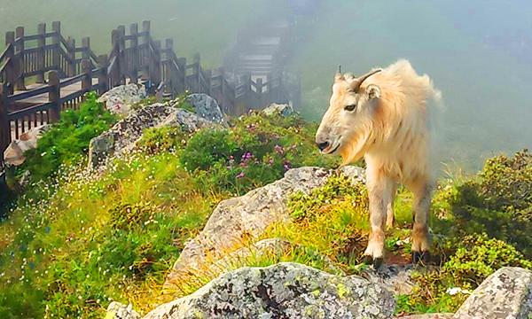 秦嶺太白山景區發現國家一級保護動物羚牛