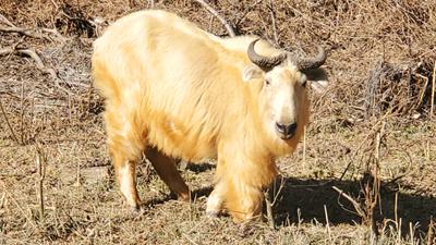 國寶羚牛新年首秀太白山