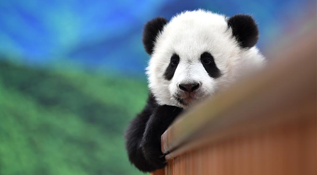 大熊貓寶寶健康成長
