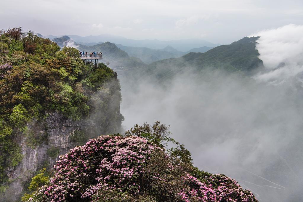 漢中龍頭山:雲中杜鵑更嬌美