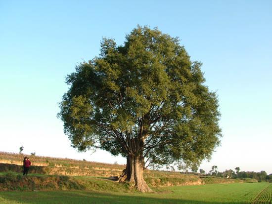 求�zf-y�9��_古豹榆木树